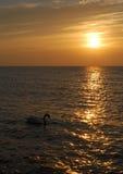 Cisne de la puesta del sol Foto de archivo libre de regalías