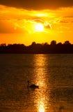 Cisne de la silueta en puesta del sol hermosa Fotos de archivo
