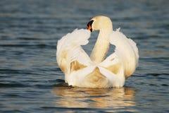 Cisne de la tranquilidad que se relaja Foto de archivo