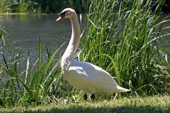 Cisne de Majesctic Foto de Stock