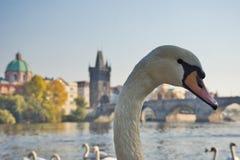 Cisne de Praga imagenes de archivo