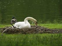 Cisne de reclinación Foto de archivo