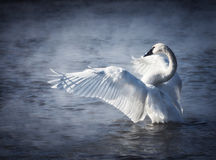 Cisne de trompetista foto de stock royalty free