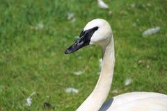 Cisne de trompetista Fotos de archivo libres de regalías
