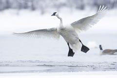 Cisne de trompetista com as asas estendidas inteiramente Foto de Stock