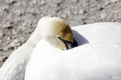 Cisne de trompetista com a cabeça dobrada confortavelmente no corpo pronto para Fotos de Stock