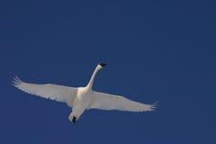 Cisne de trompetista del vuelo Fotografía de archivo libre de regalías