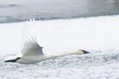 Cisne de trompetista em voo sobre o rio nevado Fotografia de Stock Royalty Free
