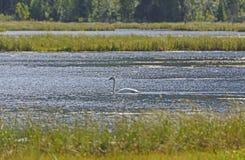 Cisne de trompetista en una charca del humedal Imagen de archivo