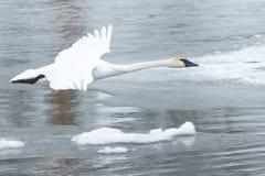 Cisne de trompetista que voa sobre o rio gelado Imagens de Stock