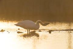 Cisne de Trumpter Fotografia de Stock Royalty Free