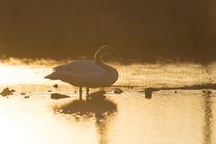 Cisne de Trumpter Foto de Stock