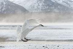 Cisne de tundra fotografía de archivo libre de regalías