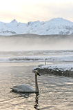 Cisne de tundra Fotos de archivo
