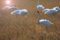 Cisne de tundra Fotografia de Stock