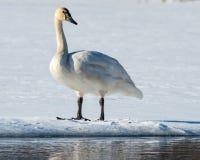 Cisne de tundra Foto de archivo libre de regalías