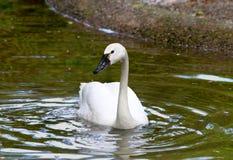 Cisne de tundra blanco Fotografía de archivo libre de regalías
