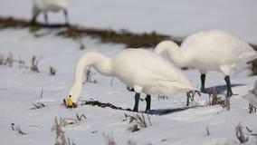 Cisne de tundra en Japón metrajes