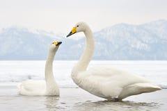 Cisne de Whooper Imagen de archivo