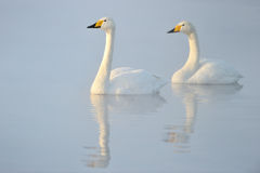 Cisne de Whooper Imagem de Stock