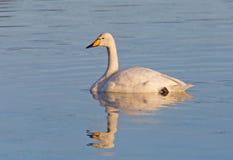 Cisne de Whooper Imagens de Stock