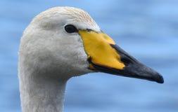 Cisne de Whooper Fotografia de Stock