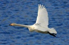 Cisne de Whooper con el GPS que sigue el dispositivo Imagen de archivo