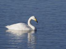 Cisne de Whooper, cygnus do Cygnus Fotos de Stock Royalty Free