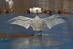 Cisne de Whooper, cygnus do Cygnus com asas para fora fotografia de stock royalty free