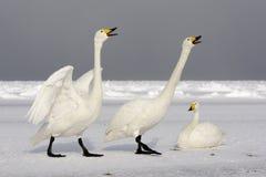 Cisne de Whooper, cygnus do Cygnus fotografia de stock