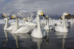 Cisne de Whooper, cygnus do Cygnus imagem de stock royalty free