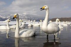 Cisne de Whooper, cygnus do Cygnus foto de stock royalty free