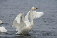 Cisne de Whooper, cygnus do Cygnus imagens de stock