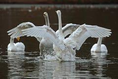 A cisne de whooper, cygnus do Cygnus fotos de stock