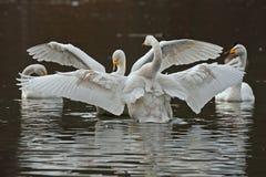 A cisne de whooper, cygnus do Cygnus foto de stock royalty free