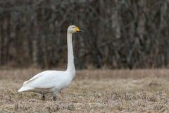 Cisne de Whooper (cygnus do Cygnus) Foto de Stock Royalty Free
