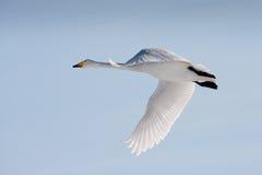 Cisne de whooper do vôo Fotografia de Stock Royalty Free