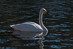 Cisne de Whooper, natação do cygnus do Cygnus no lago foto de stock royalty free