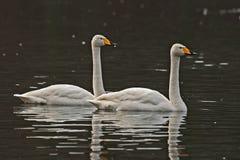 Cisne de Whooper, natação do cygnus do Cygnus no lago fotografia de stock royalty free