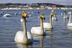 Cisne de whooper nova Fotos de Stock Royalty Free