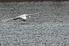 Cisne de Whooper, voo do cygnus do Cygnus sobre a água foto de stock
