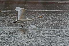 Cisne de Whooper, voo do cygnus do Cygnus sobre a água imagens de stock