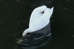 CISNE DECAPITADO Imagem de Stock Royalty Free
