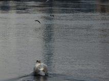 Cisne del amor en Suiza foto de archivo libre de regalías