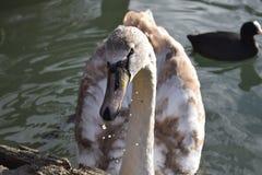 Cisne del bebé Foto de archivo