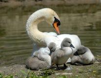 Cisne del bebé Imágenes de archivo libres de regalías