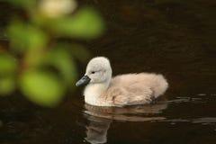 Cisne del bebé Fotos de archivo libres de regalías