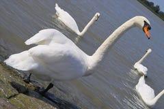 Cisne del blanco de Gracefull Imagen de archivo
