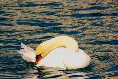 Cisne del contorsionista en el lago Fotos de archivo