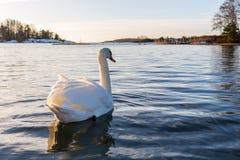 Cisne del invierno Fotos de archivo